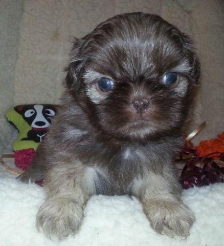 shih tzu puppies for sale indianapolis shih tzu chocolate puppies available for sale in 2401