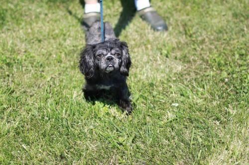 Shih Tzu - Emily - Small - Young - Female - Dog