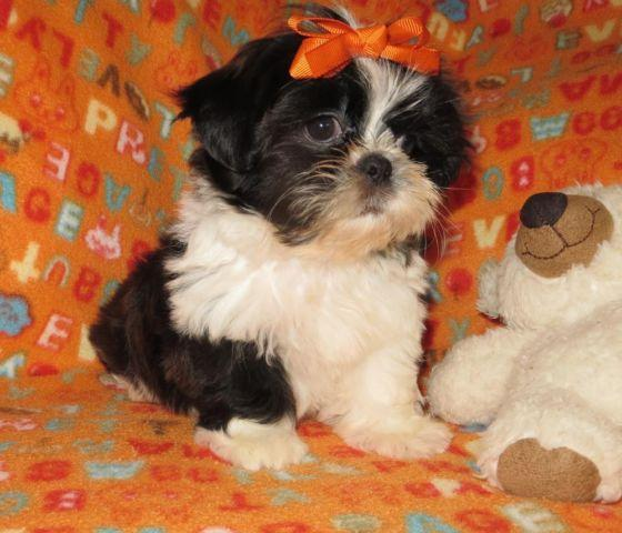 shih tzu purebred shih tzu female purebred very small for sale in 9804