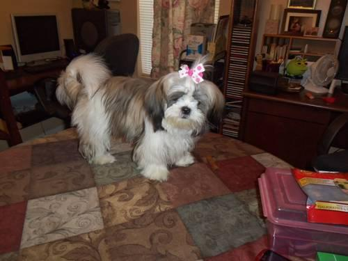 SHIH TZU FEMALE REGISTERED / WRITTEN HEALTH GUARANTEE
