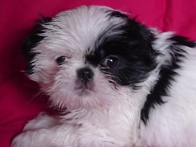 japanese chin shih tzu shih tzu japanese chin cross puppies for sale in arlington 9397