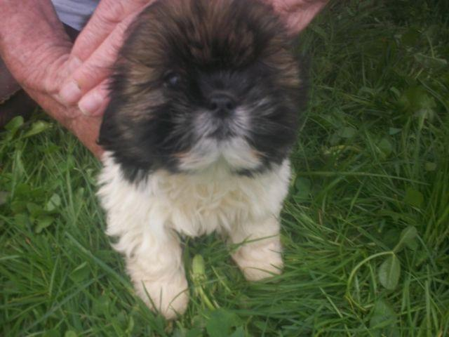 Shih Tzu Lhasa Apso Puppies For In