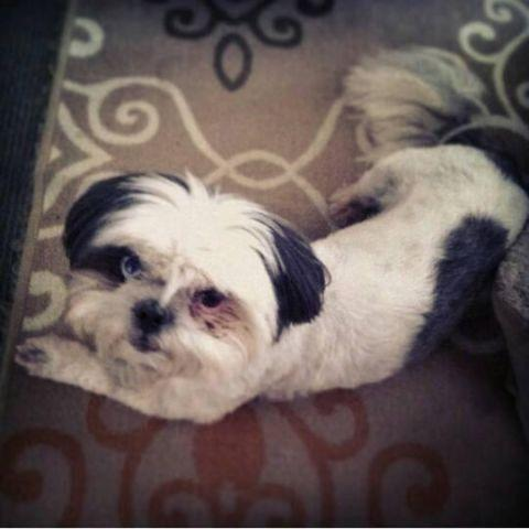 Shih Tzu Looking To Rehome For Sale In Forney Texas Classified