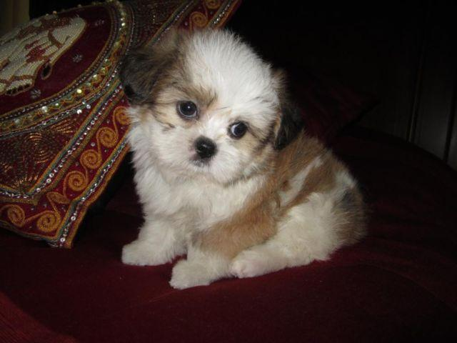 Shih Tzu-Male-Presley-Beautiful Non Shedding Baby Boy-9
