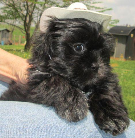 shih tzu male puppy