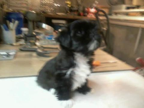Yorkie Maltese Puppy Mix For Sale In Michigan Classifieds Buy And