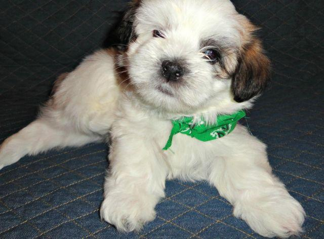 shih tzu maltese mix for sale shih tzu maltese mix puppies for sale in hoopa california 4295