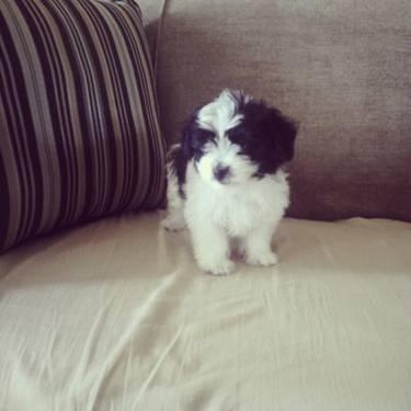 shih tzu maltese mix for sale shih tzu maltese mix puppies for sale in riverside 944