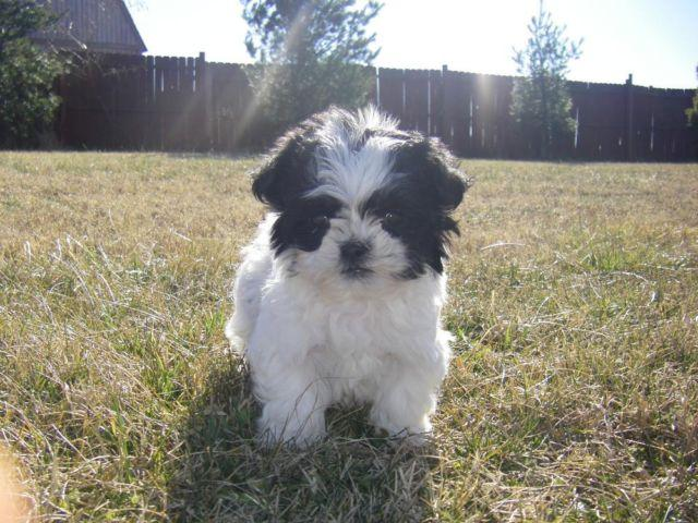 shih tzu breeders in tennessee shih tzu maltese puppies for sale in nashville tennessee 6563