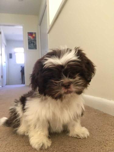 Shih Tzu Marco Shih Tzu Baby Adoption Rescue For Sale In Omaha