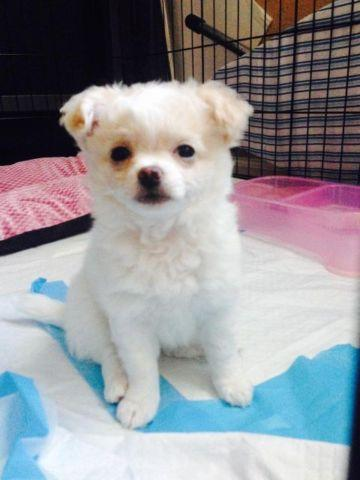 Chihuahua Puppy Mix Pets And Animals For Sale In The Usa Puppy And