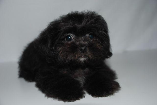 Shih Tzu Poodle For Sale In California Classifieds Buy And Sell In