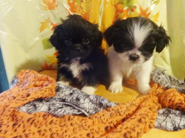 Shih Tzu Peke Puppies For Sale In Winston Salem North