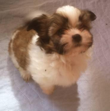 Shih Tzu / Pom male puppy 9 weeks old weekend SALE