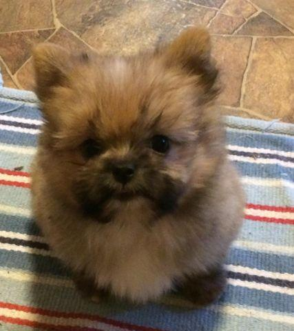 shitzu pomeranian puppies shih tzu pom mix puppies 10 weeks for sale in lyons 2887