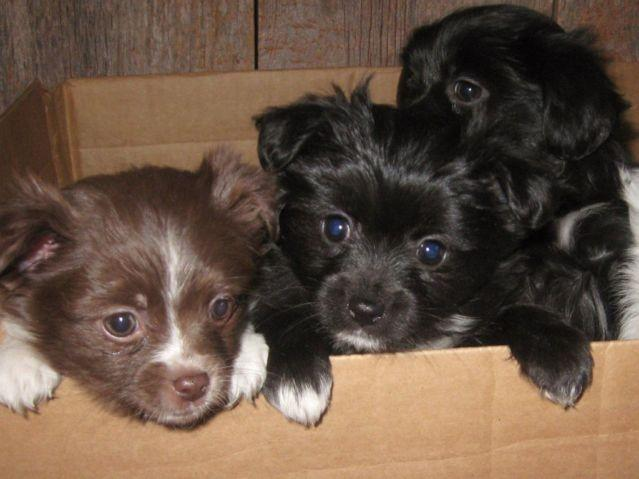 Shih Tzu Pom Puppies 10 Weeks Old Adorable For Sale In Carlton