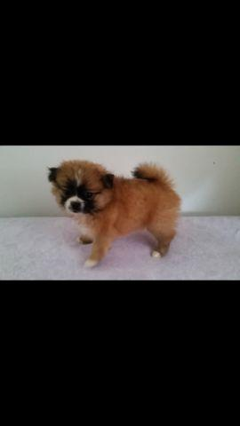 Shih Tzu Pomeranian Mix Puppies For Sale In Marlboro Maryland