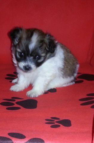 shih tzu puppies for sale indianapolis shih tzu pomeranian mixed puppy 3 months old for sale in 4130
