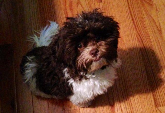 Shih Tzu Poodle Mix For Sale In North Carolina Classifieds Buy And