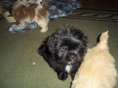shih tzu poodle puppy for sale shih tzu poodle puppy for sale in mchenry maryland 7787