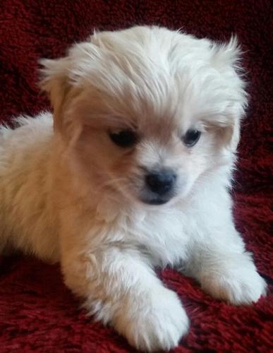 Shih Tzu Pug Cross Puppies For Sale In Fertile Iowa Classified