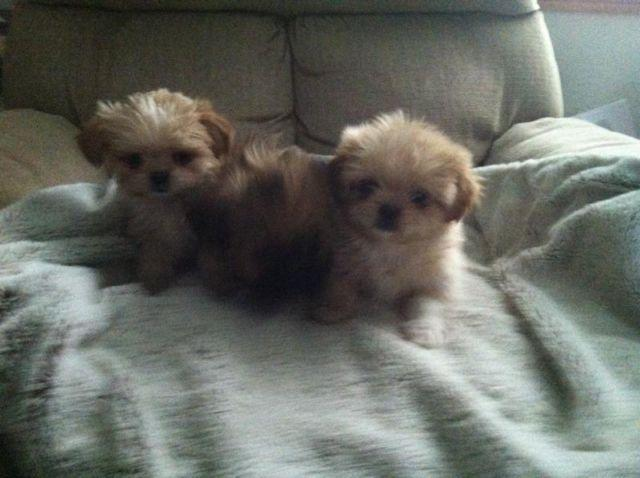 Shih Tzu Pup For Sale In Tallahassee Florida Classified