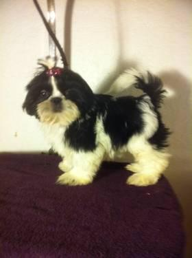 SHIH TZU PUPPIES 3 MALES 2 FEMALES