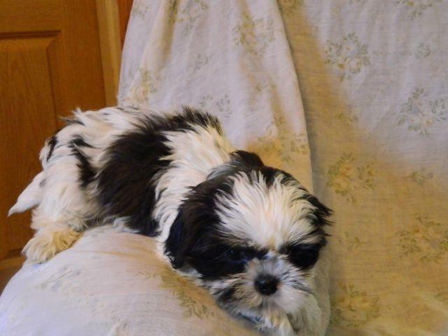 shih tzu puppies 8 weeks shih tzu puppies 8 weeks old for sale in little falls 5263