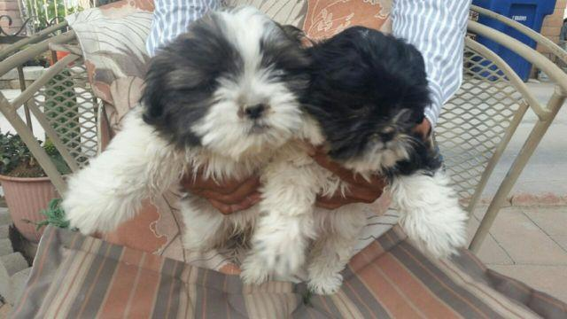 shih tzu puppies 8 weeks shih tzu puppies 8 weeks old for sale in tucson arizona 7989