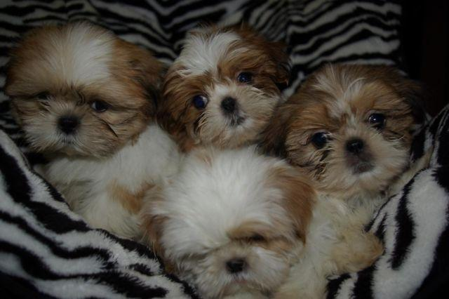 shih tzu puppies 8 weeks shih tzu puppies 8 weeks old and ready to go for sale in 7572