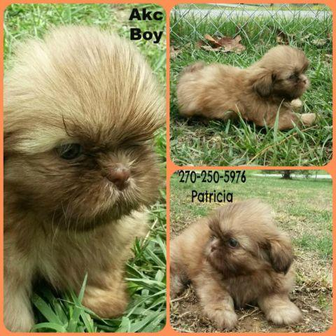 shih tzu breeders in ky shih tzu puppies akc for sale in columbia kentucky 1131