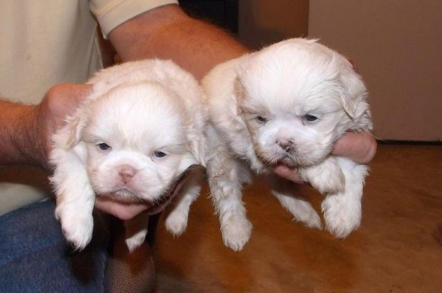 Female Pug Puppies Pets And Animals For Sale In Tuscaloosa