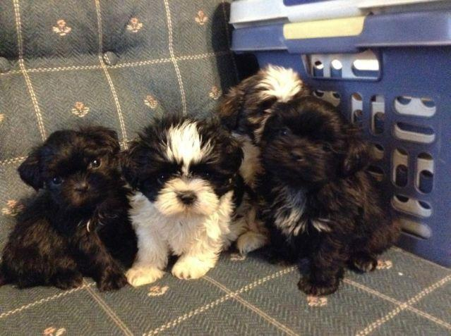 Shih tzu puppies. Akc. Ready to go. Written health