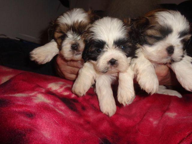 akc shih tzu puppies for sale shih tzu puppies akc registered adorable for sale in 8739
