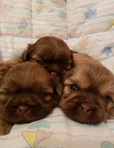 shitzu puppies in michigan