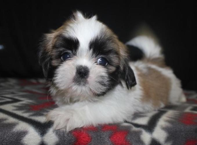 Shih Tzu Puppies For Sale In Houston Texas Classified