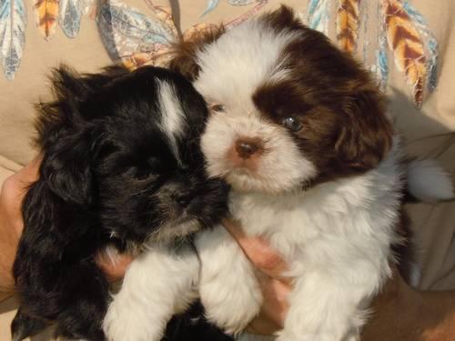 Shih Tzu Puppies For In Cochranton
