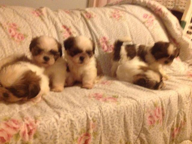 Shih Tzu Puppies For Sale In Savannah Georgia Classified