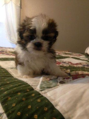 Shih Tzu Puppies For Sale In El Campo Texas Classified