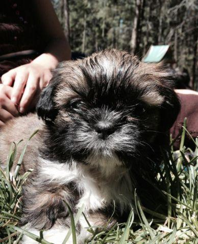 Shih Tzu For Sale In Washington Classifieds Buy And Sell In