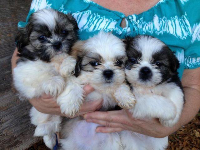 Shih Tzu Puppies For Sale In Ga Ebay Nemetasaufgegabeltinfo