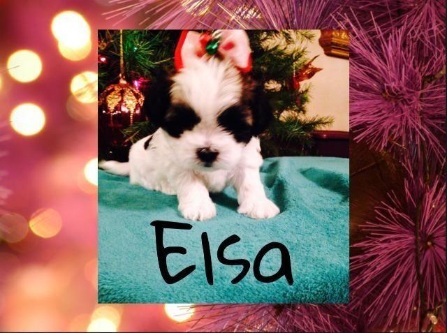 Shih Tzu Puppies For Sale In Indianapolis Indiana Classified