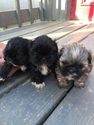 Shih Tzu Puppies For Sale In Hernando Mississippi Classified
