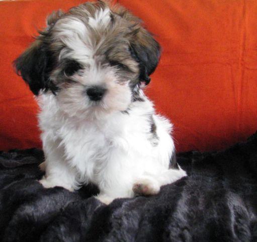 Shih Tzu Puppies !