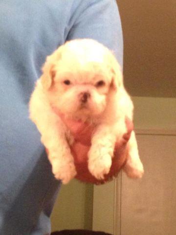 Shih Tzu Puppies For Sale In Tuscaloosa Alabama Classified