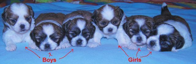 Shih-Tzu Puppies Born 9-14-15