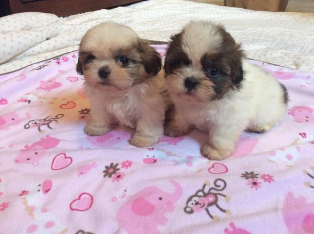 Shih tzu puppies for sale - 7 weeks old