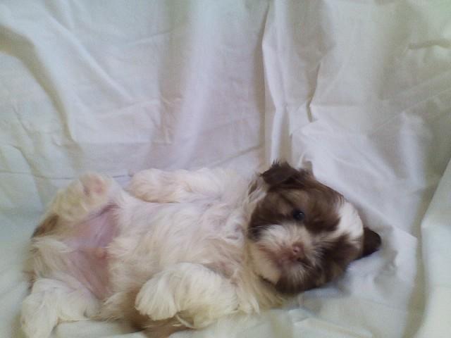 Shih Tzu Puppies For Sale For Sale In Sacramento California