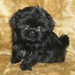 Shih Tzu For Sale In Virginia Classifieds Buy And Sell In Virginia