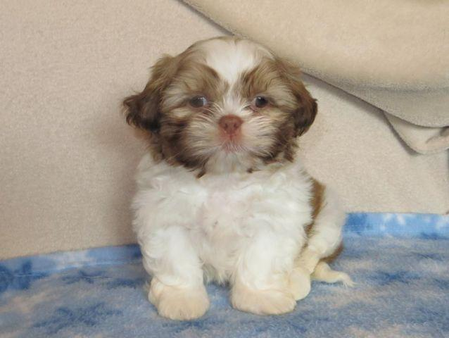 shih tzu purebred shih tzu puppies purebred for sale in kingsburg 7097